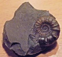 Tonstein aus dem Zeitalter-Unterjura - mit Ammonit oder so