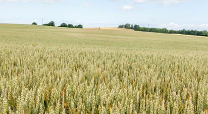 der Weizen wogt so schon - auch weiterhin - und wieder - IMMER